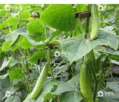 黄瓜苗期控旺技术是什么?