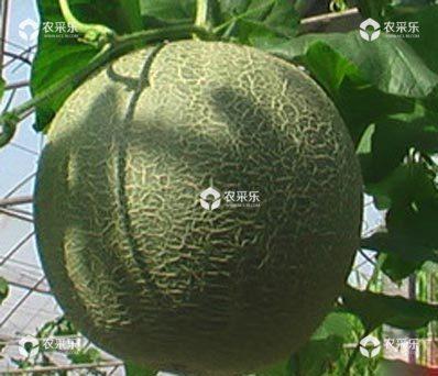 甜瓜的采收标准 好农资招商网分享
