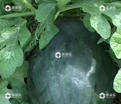 黑美人西瓜的病虫害以及防治方法介绍