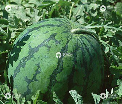 西瓜什么时候播种比较好?