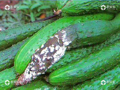 如何防治黄瓜菌核病