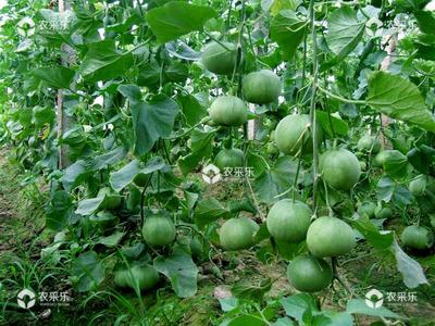 甜瓜落花落果的原因及防治措施