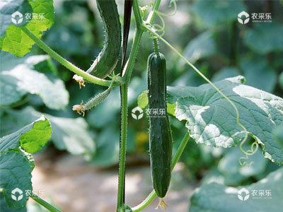 设施黄瓜病虫害的综合防治措施