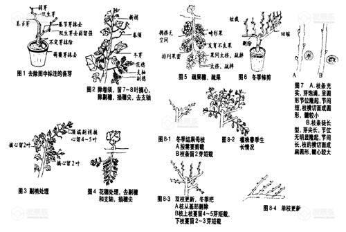 盆栽葡萄如何修剪,盆栽葡萄修剪技术
