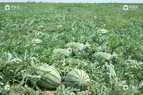 西瓜重茬地怎么施肥助丰产