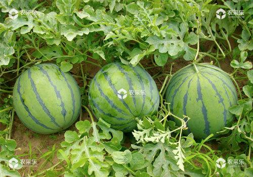 西瓜施肥要平衡配比氮钾肥