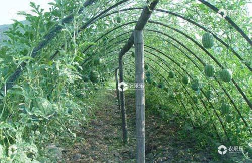 支架栽培西瓜的方法及管理措施