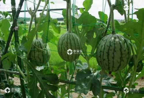 西瓜支架栽培可提高产量