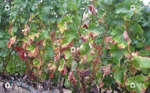 葡萄叶片焦枯发生原因及其预防措施