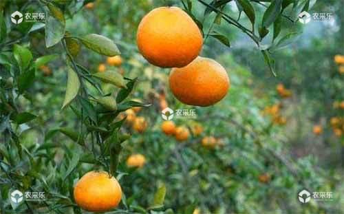 柑橘低产成年树的主要原因及综合丰产技术