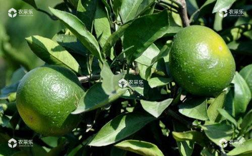 柑橘品质下降的原因及改善措施
