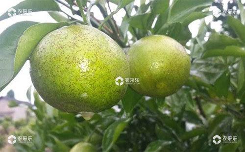 柑橘树脂病危害症状、发生特点和防治措施