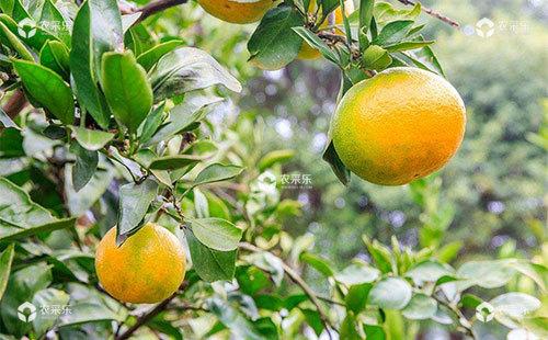 柑橘枸橘潜叶甲危害症状及综合防治措施
