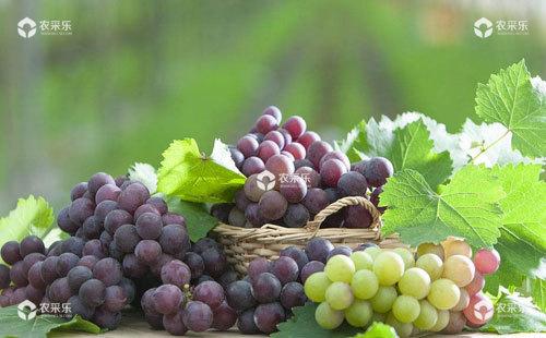 葡萄对氮营养元素的吸收和利用