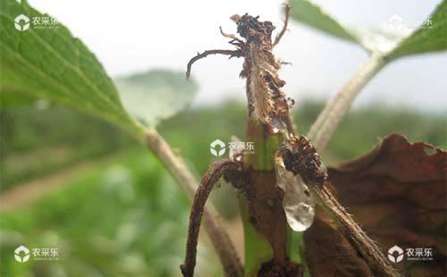 6种樱桃常见病害的症状表现及防治方法