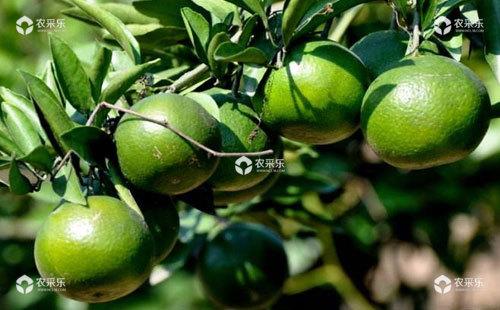 柑橘霉斑病的发病规律及防治方法