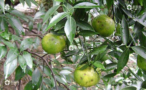 柑橘黑斑病有哪些症状,该如何预防呢?