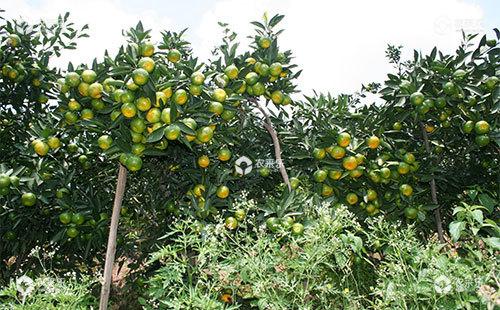 柑橘小老树是什么原因,如何进行改造?