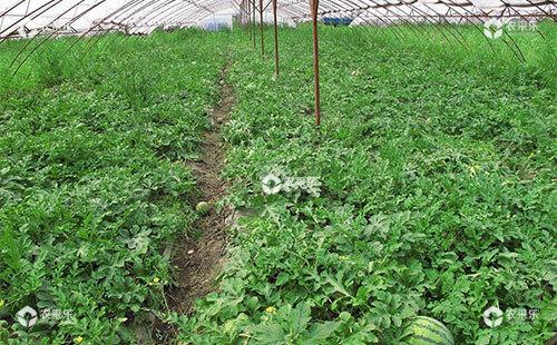 西瓜除草剂使用需要掌握的使用技巧