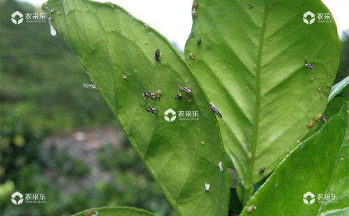 柑橘木虱的生活习性、为害方式、危害情况及综合防治措施