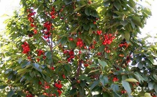 樱桃苹小卷叶蛾的危害特点、形态特征、发生规律及防治措施