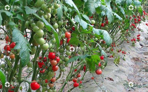 樱桃番茄该如何整枝,具体操作方法有哪些?