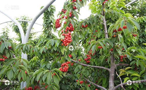 甜樱桃整枝的两种处理方法及其之间的比较
