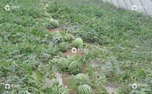 西瓜疯长是什么产生原因,有哪些防治措施?