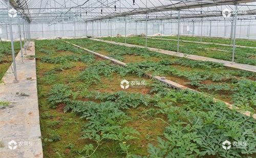 大棚西瓜怎么育苗,需要掌握哪些技术知识?