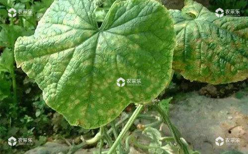黄瓜叶烧病的为害症状、发生规律及防治措施
