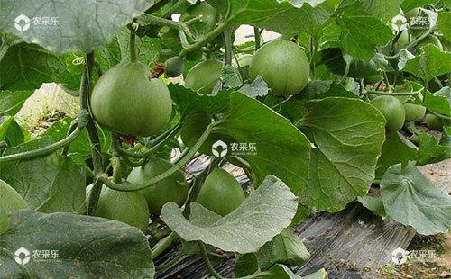 甜瓜烟青虫的为害症状、发生规律、生活习性及防治措施