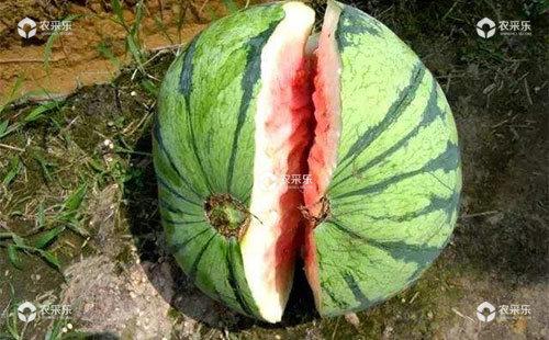 西瓜干裂是什么原因?农户们该如何应对?