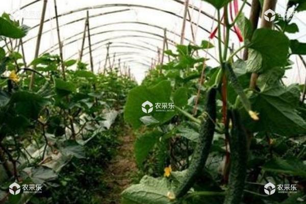 早春黄瓜种植栽培技术