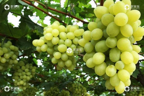 马奶葡萄怎么种 马奶葡萄种植技术与注意事项