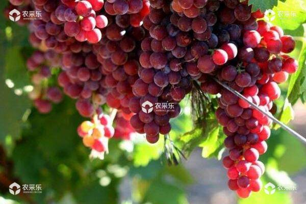 红玫瑰葡萄怎么种 红玫瑰葡萄种植技术与注意事项