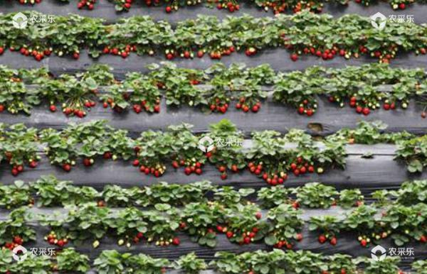 草莓立体栽培技术 草莓种子的种植方法