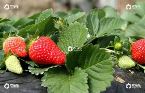 草莓炭疽病防治技术 大棚草莓种植技术与管理方法