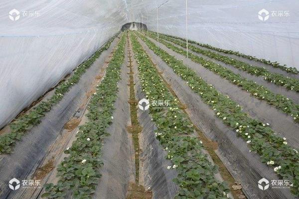 草莓种子怎么种 草莓种子多久发芽