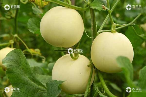 甜瓜细菌性叶枯病防治方法 甜瓜花叶病防治方法