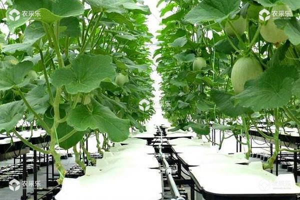 露地甜瓜种植技术 甜瓜最晚几月份种植