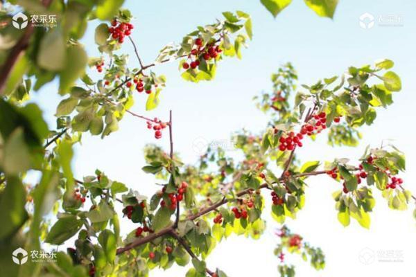 樱桃怎么种 樱桃树什么时候剪枝好