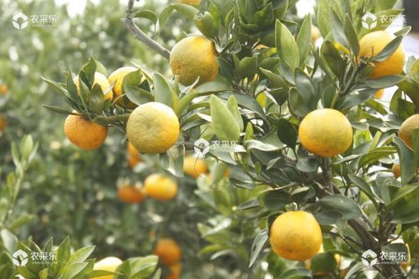柑橘黄龙病用什么药 柑橘锈壁虱用什么药