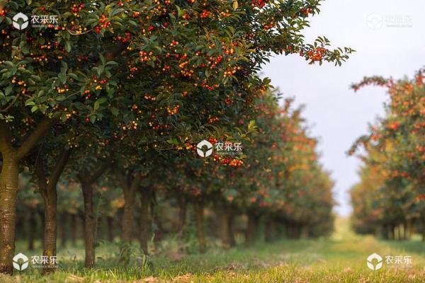 樱桃树的种植与管理技术 樱桃树的修剪方法