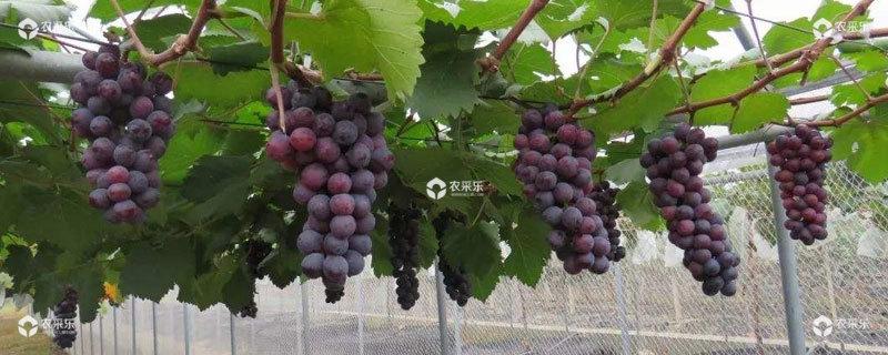 种葡萄赚钱吗