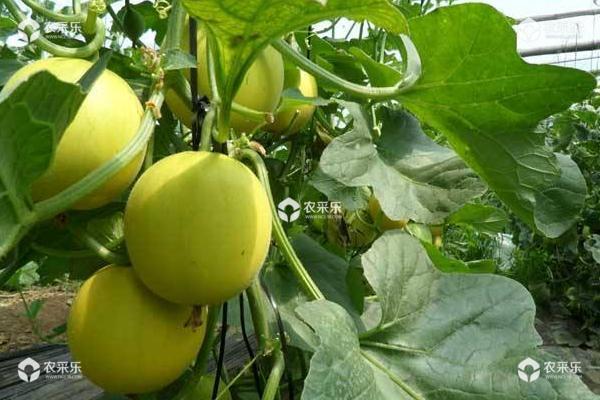 甜瓜种子种植方法