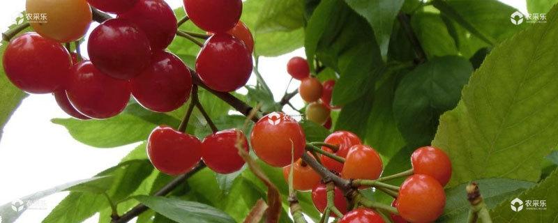 樱桃南方可以种吗