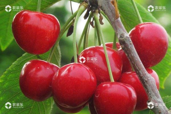 樱桃种植条件