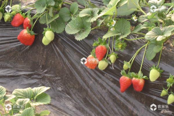 草莓好种植吗?一年四季都能种,4个月左右就成熟
