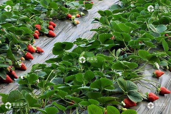 草莓旺长不开花怎么办?4点轻松治好草莓旺长现象