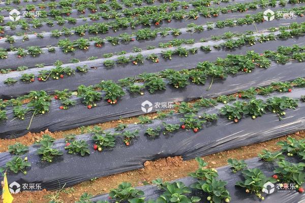草莓栽培新技术,定植要控制好密度,平时及时排灌浇水